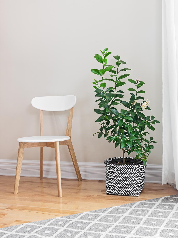 lemon-tree-care-guide-domino-1.jpg
