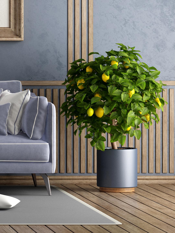lemon-tree-care-guide-domino-2.jpg